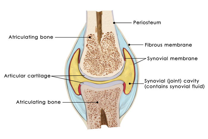 Knee diagram and synovial fluid