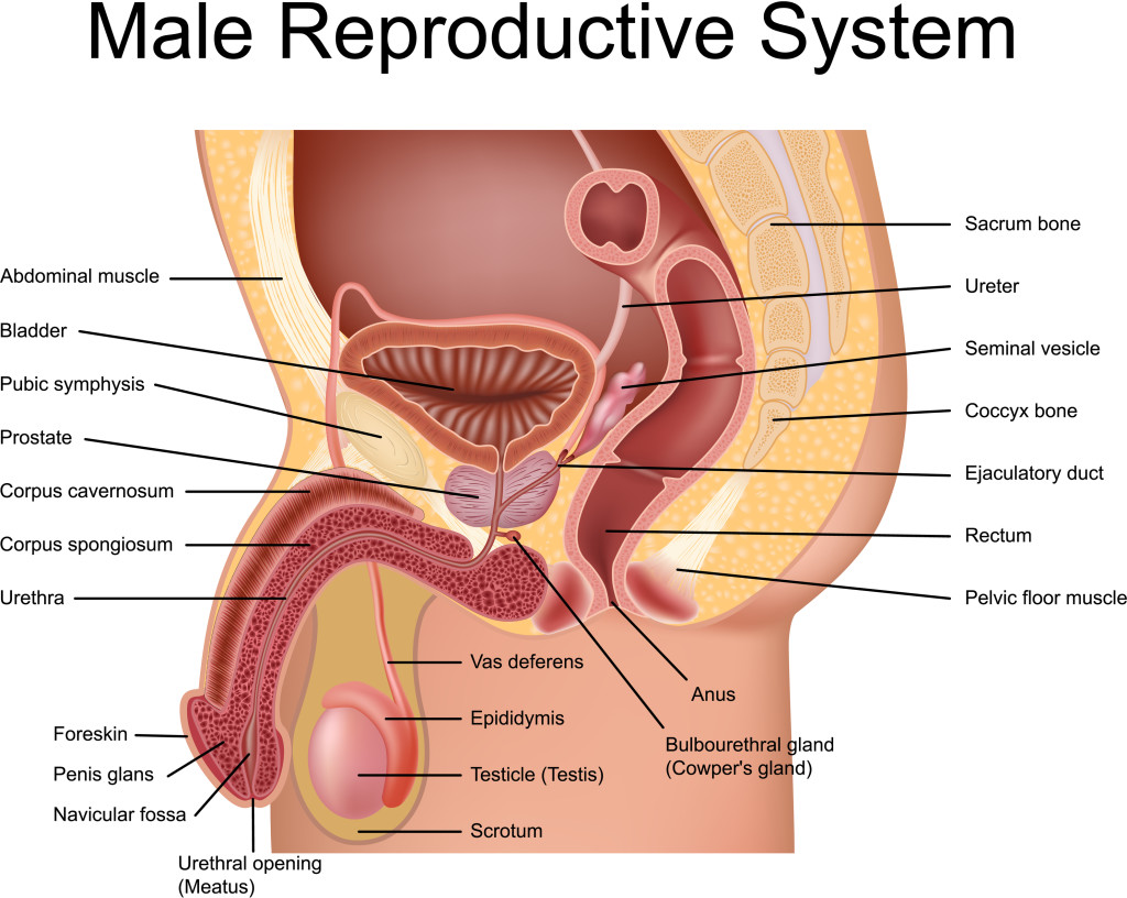 prostate gland anatomical view