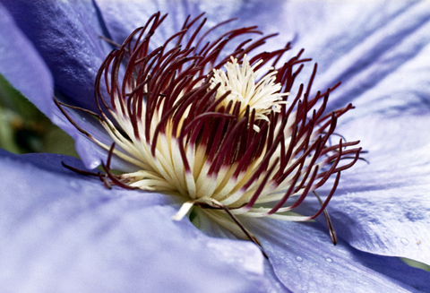 Passion Flower Benefits It Helps Anxiety And Insomnia But Without