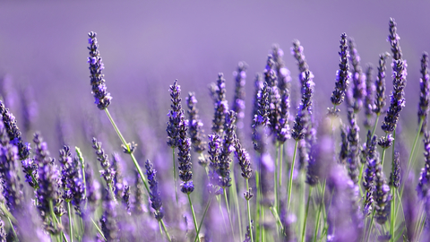 Lavender Reduces Signs of Anxiety in Women - University Health News