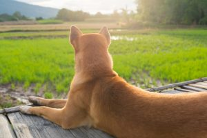glaucoma symptoms in dogs