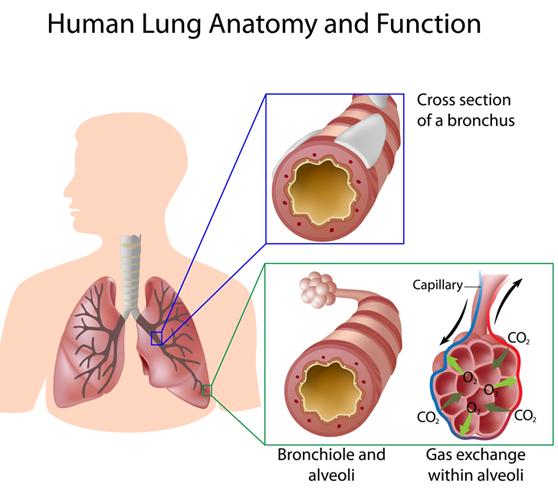 human lung anatomy