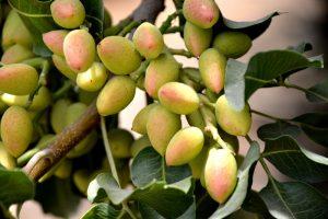 pistachio benefits