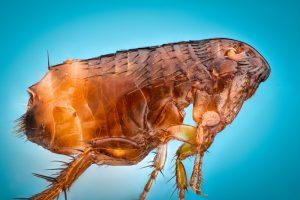 typhus flea-borne