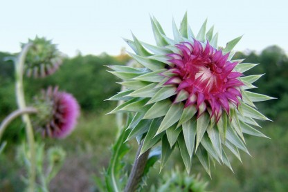 6 Milk Thistle Uses: Protect Your Liver, Treat Diabetes, and More