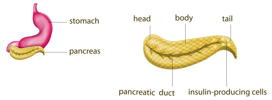 Above: The pancreas in relation to the stomach. Right: Pancreatic ducts run through the middle of the organ.