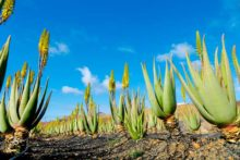 5 Aloe Vera Uses That Benefit Your Health