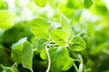 One of the Best Natural Remedies for Food Poisoning: Oregano Oil