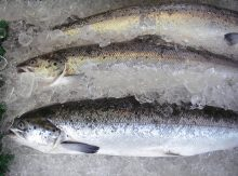 Farmed Salmon: Everything You Need to Know
