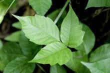 Poison Ivy: America's Rash