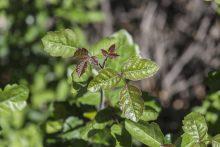Poison Oak: Just as Hazardous as Its More Common Cousin, Poison Ivy