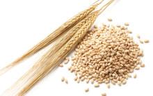 barley and barley stalks