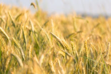 wheat sensitivity