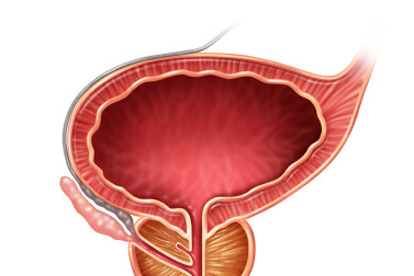 illustration of the prostate organ