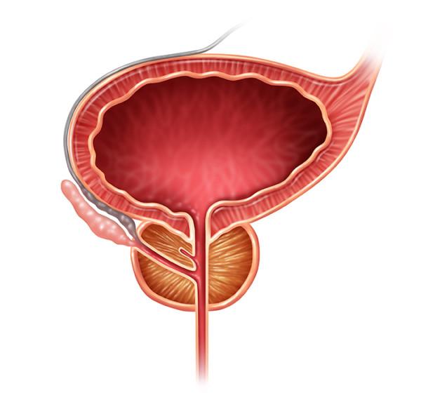 illustration of the prostate organ