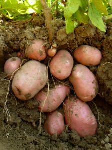 potatoes growing in the ground sweet potatoes vs potatoe